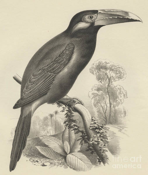 Wall Art - Drawing - Selenidera Spectabilis  Yellow Eared Toucanet by Otto Koehler