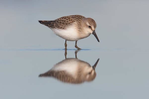 Photograph - Semipalmated Sandpiper I by Clarence Holmes