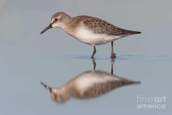 Scolopacidae Photograph - Semipalmated Sandpiper II by Clarence Holmes