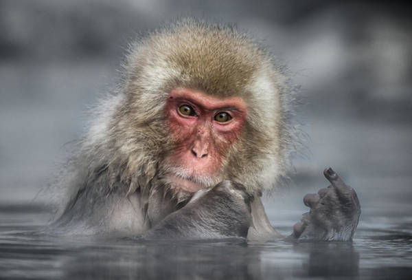 Snow Monkey Photograph - Sending A Clear Message by Linda Oliver