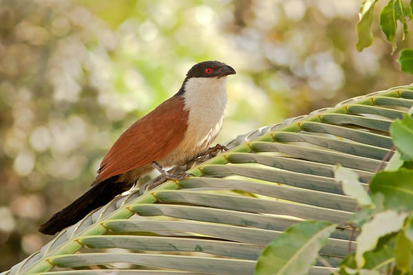 Photograph - Senegal Coucal by Aivar Mikko