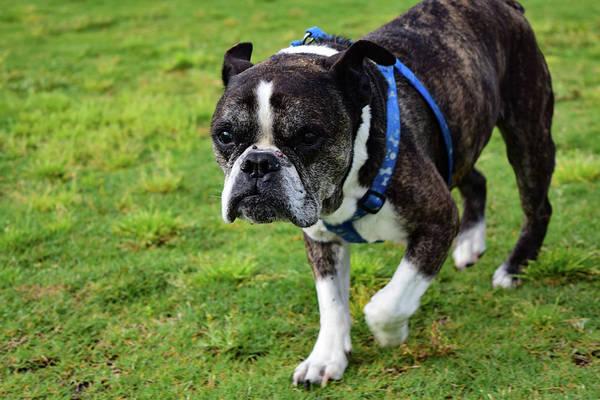 Photograph - Leroy The Senior Bulldog by Nicole Lloyd