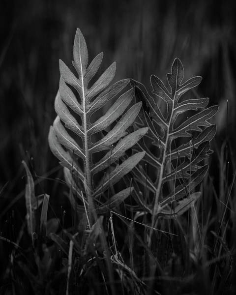 Photograph - Sensitive Fern by Jeff Phillippi