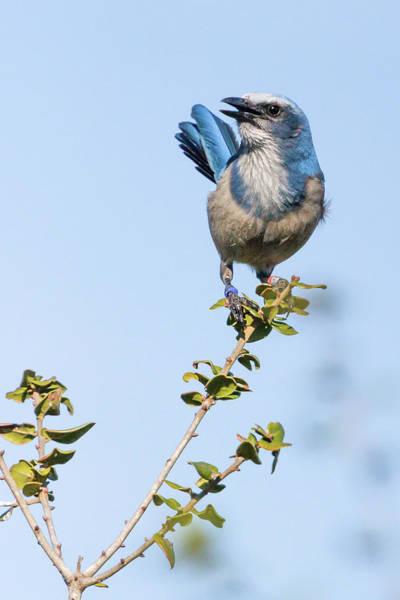 Photograph - Sentry Alert - Florida Scrub Jay by Dawn Currie