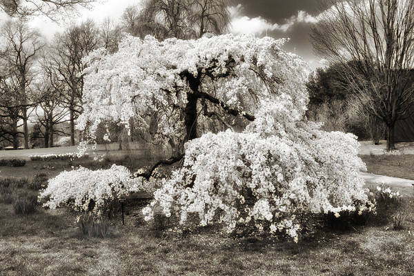 Photograph - Sepia Cherry by Jessica Jenney