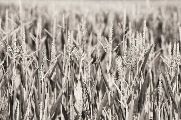 Wall Art - Photograph - Sepia Field by Dan Sproul