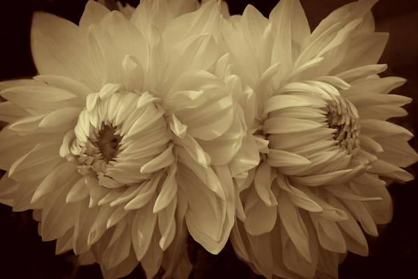 Photograph - Sepia Dahlias by Patricia Strand