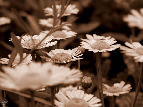 Photograph - Sepia Daisies by Scott Hovind