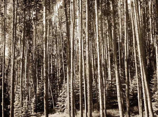 Photograph - Sepia Forest by Marilyn Hunt