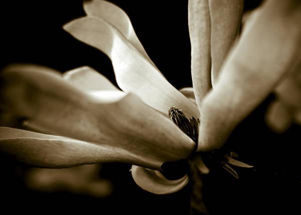 Wall Art - Photograph - Sepia Magnolia by Frank Tschakert