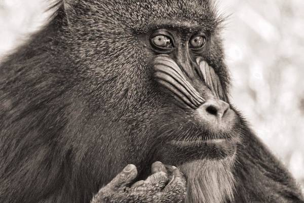 Photograph - Sepia Mandrill Portrait by Dan Sproul