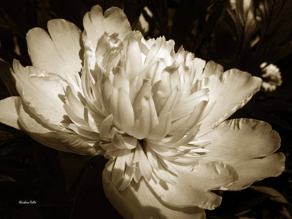 Earthtones Photograph - Sepia Peony Flower Art by Christina Rollo