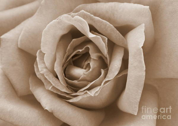Photograph - Sepia Rose by Carol Groenen
