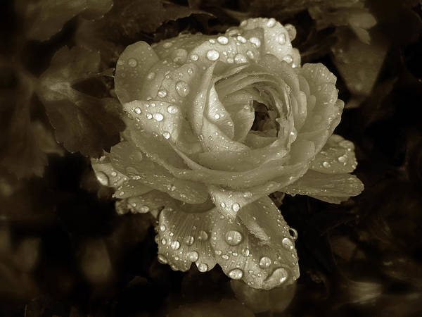 Photograph - Sepia Rose by Jessica Jenney