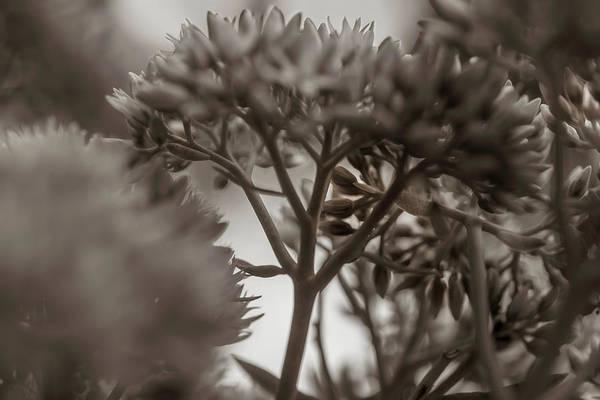 Photograph - Sepia Sedum by Keith Smith