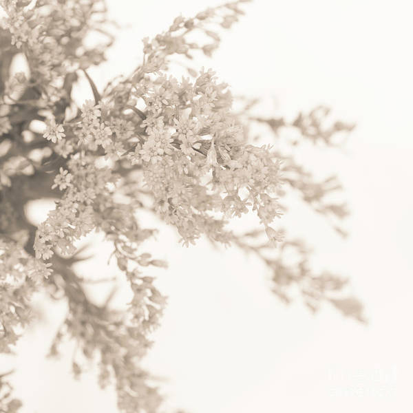 Wall Art - Photograph - Sepia Solidago I by Anne Gilbert