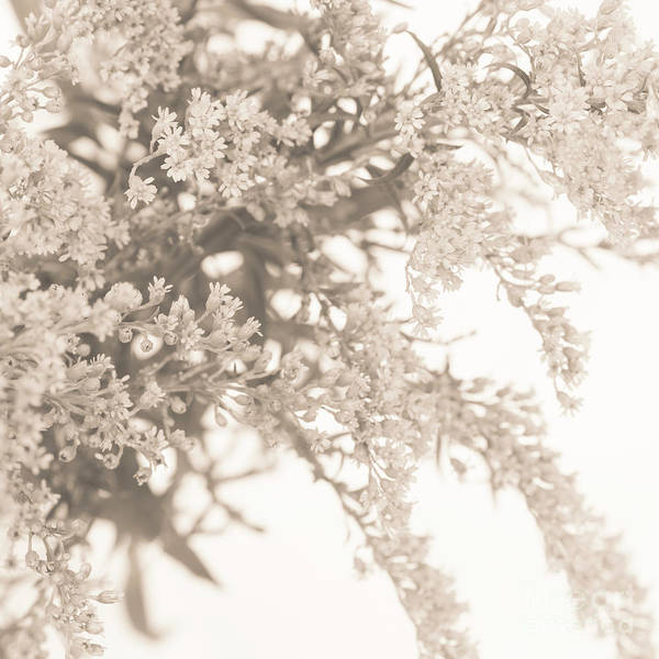 Wall Art - Photograph - Sepia Solidago 3 by Anne Gilbert