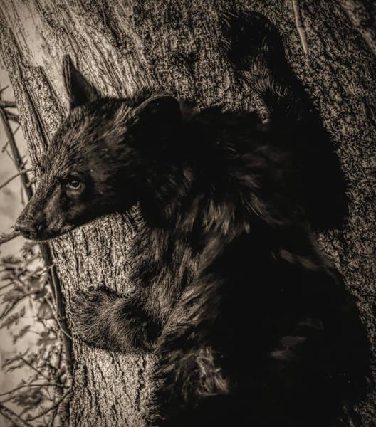 Photograph - Sepia Tone Black Bear Cub by Dan Sproul