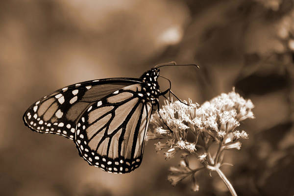 Photograph - Sepia Tone Butterfly by Jill Lang