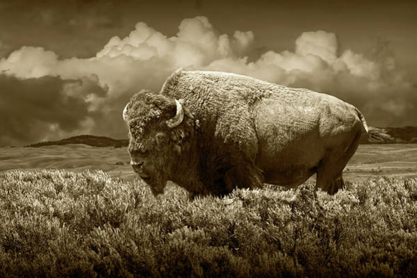 Photograph - Sepia Tone Of American Bison In Yellowstone by Randall Nyhof