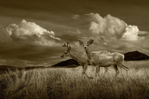 Photograph - Sepia Tone Of Male Mule Deer With Velvet Antlers by Randall Nyhof