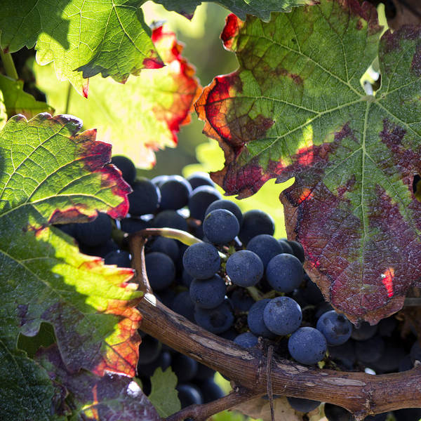 Photograph - September Grapes - Square by Georgia Fowler