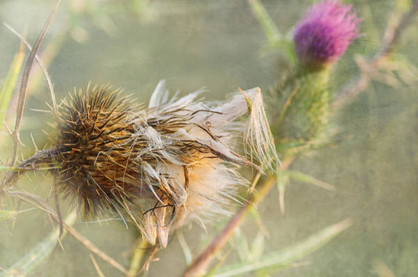 Thistle Photograph - September Missed by Susan Capuano