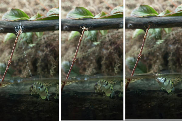 Photograph - Sequence Archer Fish Eating by Dan Friend