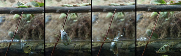 Photograph - Sequence Archer Fish Jumping Out Of Water To Grab A Insect by Dan Friend