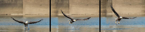 Photograph - Sequence Of Bald Eagle Catching Fish On Top Of Water by Dan Friend