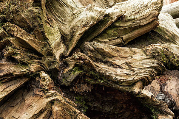 Photograph - Sequoia Abstract, No. 1 by Belinda Greb