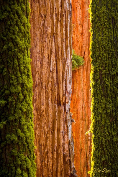 Photograph - Sequoia Abstract by Rikk Flohr