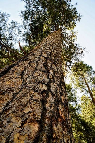Photograph - Sequoia  by Joseph Caban