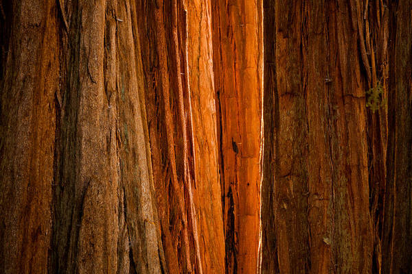 Wall Art - Photograph - Sequoia Light by Thorsten Scheuermann