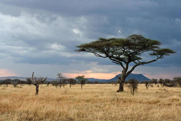 Photograph - Serengeti Sunset With Acacia Tree by Aivar Mikko