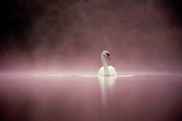 Wildfowl Photograph - Serenity - Swan On A Foggy Sunset by Roeselien Raimond