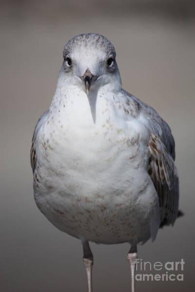 Photograph - Serious Seagull by Carol Groenen