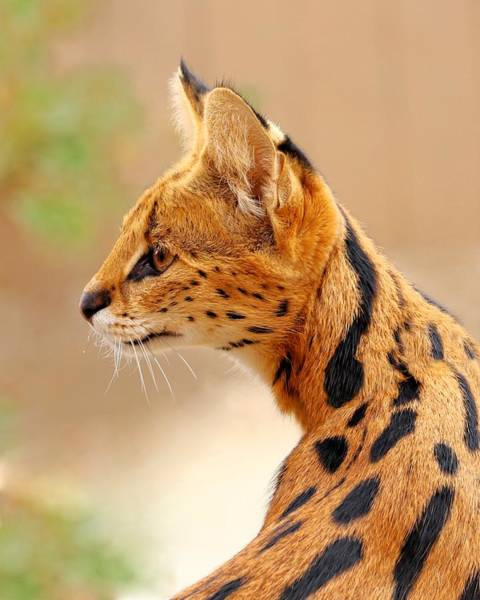 Serval - Extreme Hunter Art Print