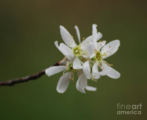 Photograph - Serviceberry Bloom by Randy Bodkins