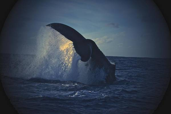 Save The Whales Photograph - Setting Sun Behind Tail Fluke by Nan Hauser