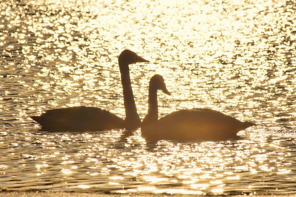 Photograph - Setting Swans by Leda Robertson