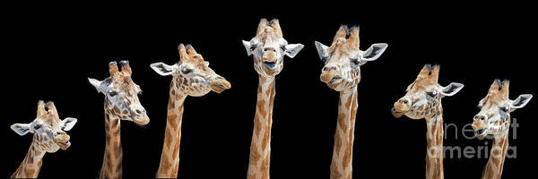 Wall Art - Photograph - Seven Giraffes With Different Facial Expressions by Jane Rix