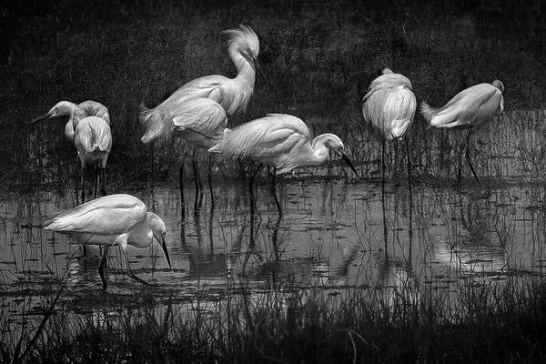 Photograph - Seven Snowy Egrets, Bw by Belinda Greb