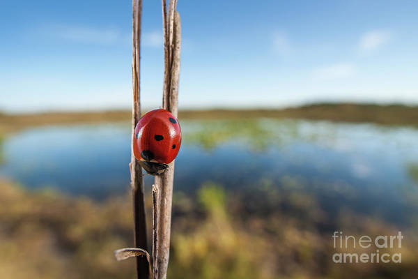 Photograph - Seven-spotted Lady Beetle IIi by Clarence Holmes