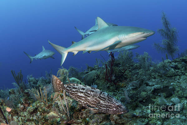 Carcharhinidae Photograph - Several Caribbean Reef Sharks by Mathieu Meur