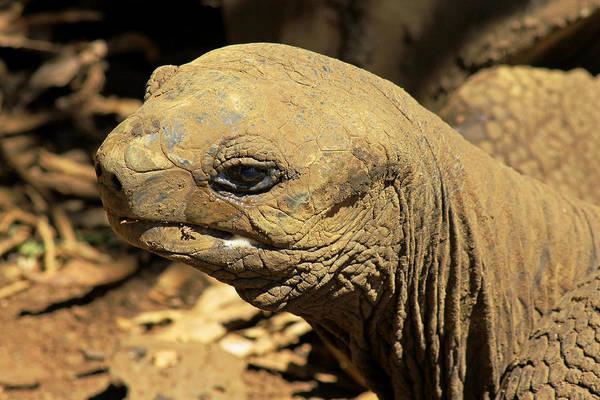 Photograph - Seychelles Tortoise by Tony Murtagh