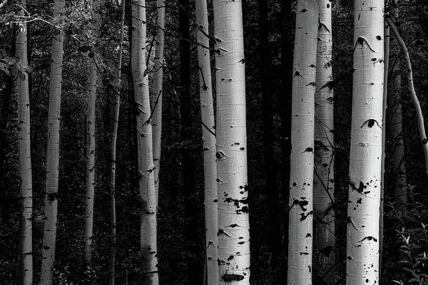 Photograph - Shades Of A Forest by James BO Insogna