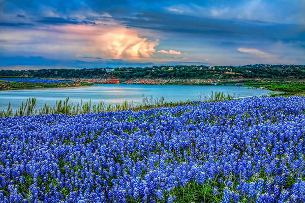 Texas Bluebonnet Photograph - Shades Of Blue by Tom Weisbrook