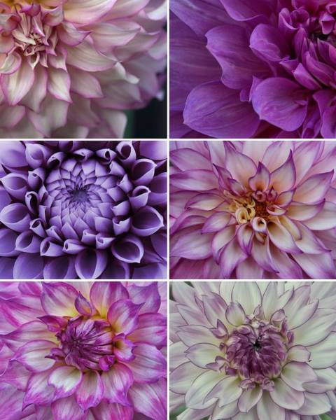 Photograph - Shades Of Purple - Dahlia Collage by Patricia Strand