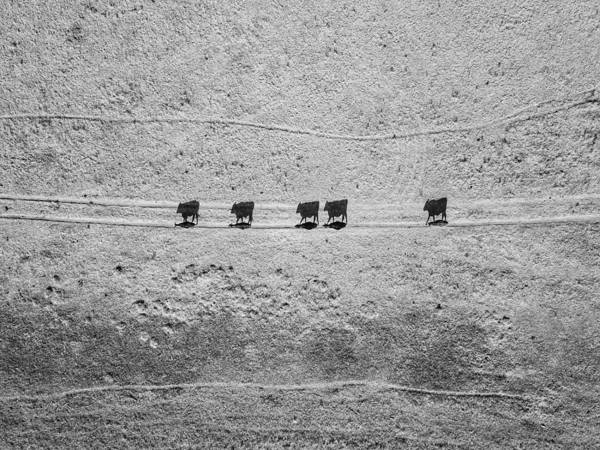 Photograph - Shadow Cattle by Rand